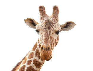 Printed roller blinds Giraffe giraffe isolated on white background