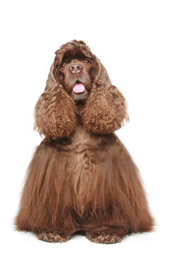 Chocolate American cocker spaniel on a white background