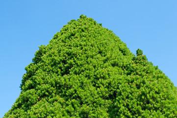 Zuckerhutfichte - Picea glauca Conica
