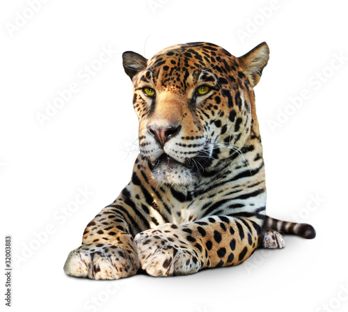 """Jaguar Felis Onca: """"Jaguar, Panther, Front View, Isolated On White, Shadow"""