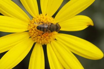 La mosca tigre: Eristalinus taeniops