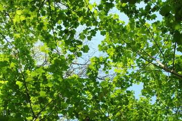Fresh spring green tree leaves canopy in a forest..