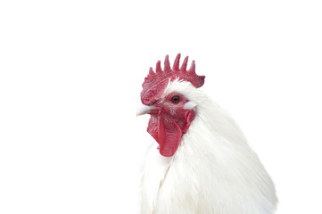 Rooster portrait isolated on white