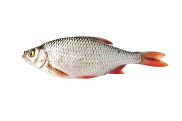 Fish isolated on white (Scardinius erythrophthalmus)