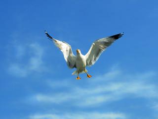 gabbiano reale in volo