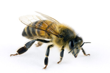Bee, Apis mellifera, European or Western honey bee, isolated on