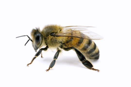 Bee, Apis mellifera, European or Western honey bee, isolated on