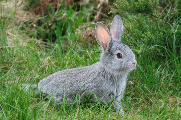 fluffy rabbit on the green grass