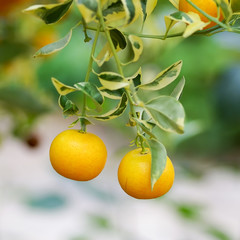 Close up view of tangerine tree with fruits