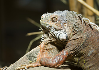 Close up of the head of a Green Iguana
