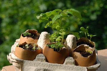 Eggshells gardening