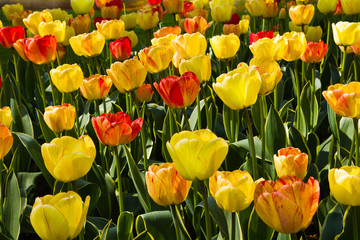 Colorful flamy tulips in sunshine