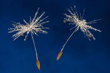 Close-up of wet dandelion seeds on blue