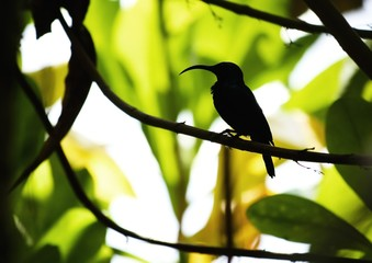Long beak bird silhouette,Sri Lanka fauna world