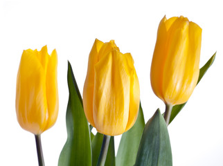 Yellow tulips bouquet isolated on white