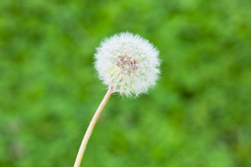 flower[dandelion]_28