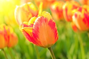 Red beautiful tulips
