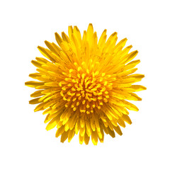 Yellow flower of dandelion isolated on white background