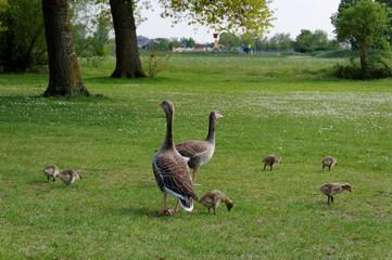 Geese & Chicks