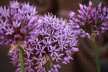 closeup of Allium Giganteum flowers