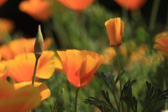 Eschscholtzia of California, california poppy