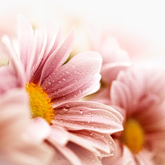 Wall Mural - Beautiful daisy flowers closeup