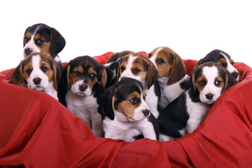 neun kleine Beagle Welpen schauen aus Korb raus