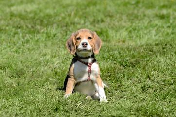 stolzer Beagle Welpe