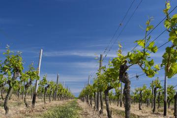 Weinberg mit Weinstock bei blauem Himmel