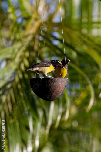 Oiseau sucrier jaune et noir tropical guadeloupe photo for Oiseau jaune et noir