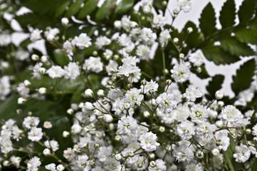 Cerca immagini fiori bianchi - Settembrini fiori ...
