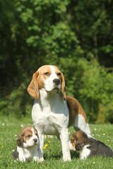 maman beagle et ses deux chiots