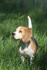 beagle attentif