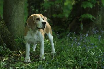beagle dans le sous bois