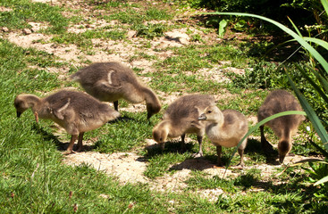 Baby Graylag goslings seeking worms