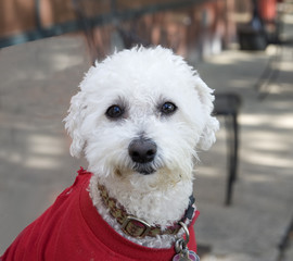 adorable white dog with red spring coat