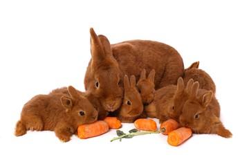ein großer Hase und fünf kleine Kaninchen liegend