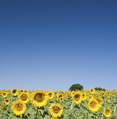 Sunflower with blue summer sky, Provence