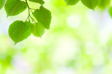 Spring green leaves in soft sunlight