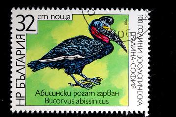 Bucorvus abissinicus