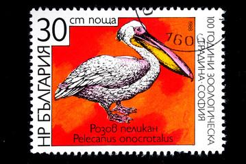 Pelecanus onocrotalus