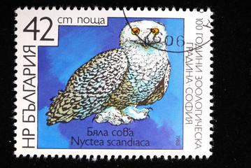 White owl - Nyctea scandiaca