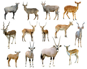 Foto op Plexiglas Antilope antelope collection isolated