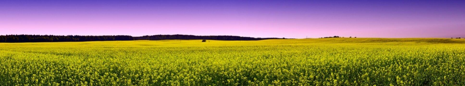 Rapsfeld im Frühling - Panorama