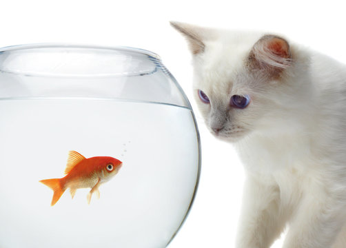 cat and a gold fish
