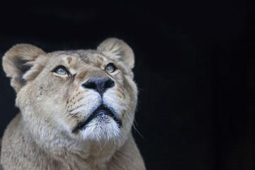 leonessa2
