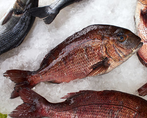 red porgy fish, natural background