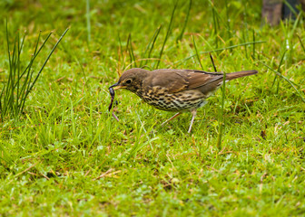 Song Thrush feeding