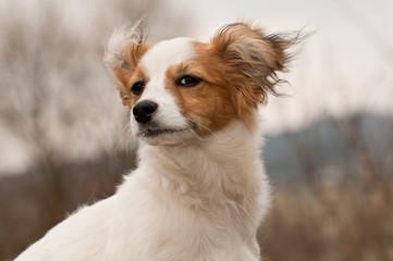 Hund, Havaneser, Rassehund, klein, niedlich, Dog