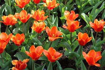 Printed roller blinds Tulip Orange Tulip